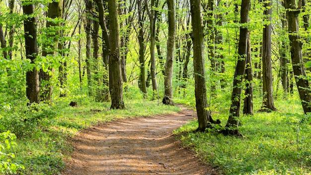 春の森の晴れた日。森の中の未舗装の道路