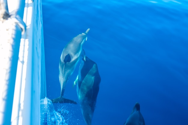 Sunny day. several dolphins swim near the side of a sailing yacht
