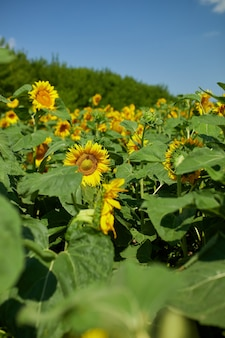 A sunny field of sunflowers in glowing yellow light. a bright yellow and fully bloomed sunflower, oil natural , agriculture