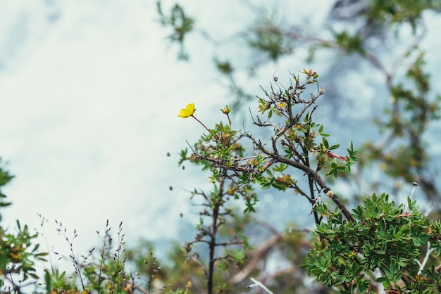 Sunny nature background with small yellow flowers of cinquefoil above bokeh of clear azure water stream in sunlight. yellow small flowers of dasiphora fruticosa above shiny blue mountain creek in blur