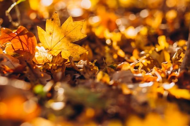 태양 광선이 숲 바닥을 덮고있는 건조하고 금색 너도밤 나무 잎을 비 춥니 다.
