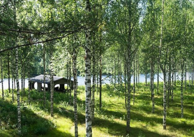 川の近くの白樺林の草の上の太陽光線