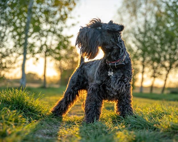 Маленькая черная собака шнауцер в парке на sunrice