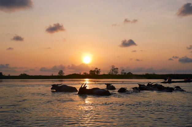 Sunrise and buffalo in water at thalenoi wildlife sanctuary, phatthalung, thailand.