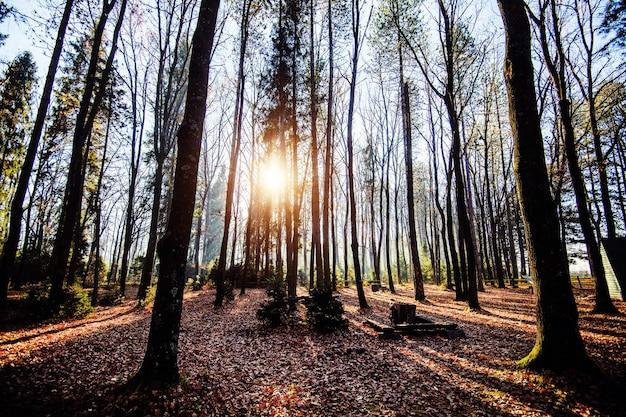 Восход солнца в красивом лесу в карпатах, украине, европе. пейзажи природы с солнечным светом. красота природы концепции фона.