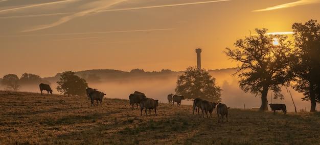 フランス、オートビエンヌのラテラーデの日の出。牛が放牧し、遠くに給水塔があります。