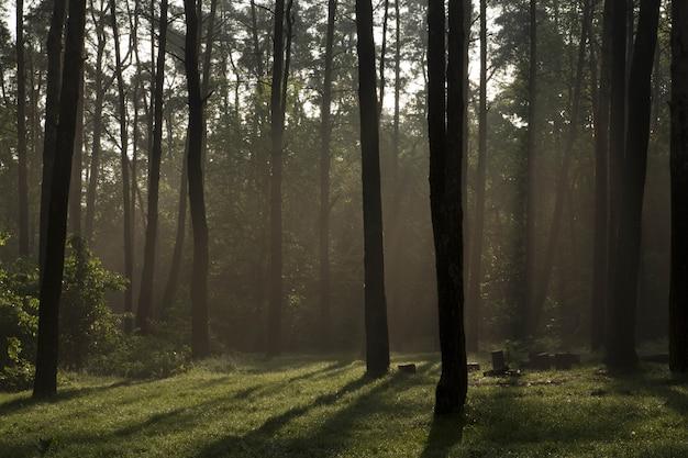 夏の森の中の日の出森の中の夏の霧