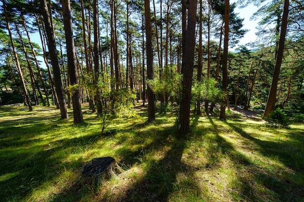 背の高い木々と緑の草のある地中海の松林の日の出。