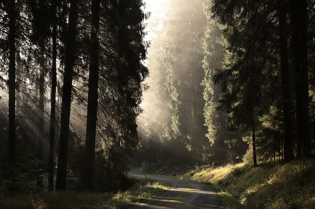 The suns rays hit the forest path on a misty morning