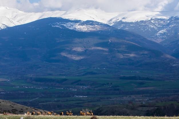 Закат и олени в капцире, сердань, пиренеях, южной франции.