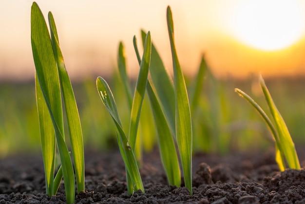 Закат и ростки зерна, прорастающие на поле весной в почве