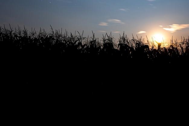 トウモロコシ畑の後ろに沈む夕日。青い空と夕日のある風景。シルエットの植物。正面図。