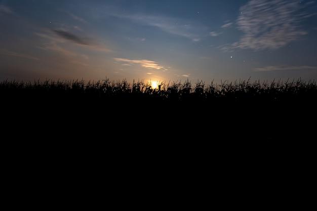 옥수수 밭 뒤에 석양입니다. 푸른 하늘과 석양이 있는 풍경. 실루엣에 식물입니다. 전면보기.