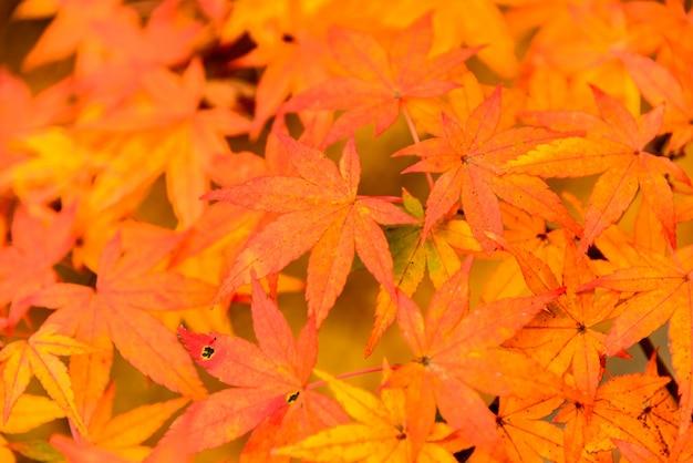 Закат цвет листьев клена красочный