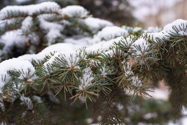 Закат в россии. ель, снег на ветках на рассвете.