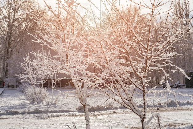 Закат в лесу между деревьями в зимний период штамм. деревья в снегу.
