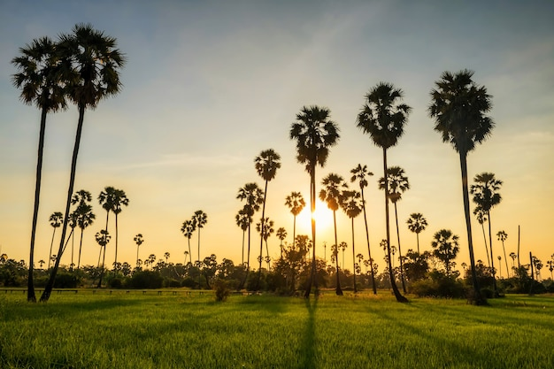 Sunset light shade through sugar palm trees to paddy rice field in pathum thani, thailand. agriculture industry in warm tropical country. beautiful natural travel landscape.