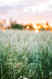 夏の野花畑に沈む夕日
