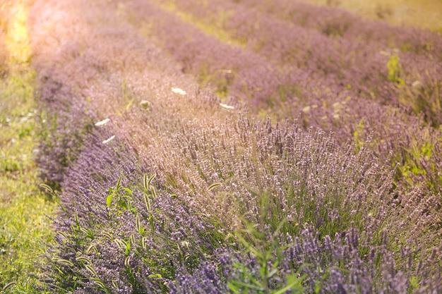 프랑스 프로방스의 여름 라벤더 밭 위로 일몰. 선택적 초점으로 쐈 어.
