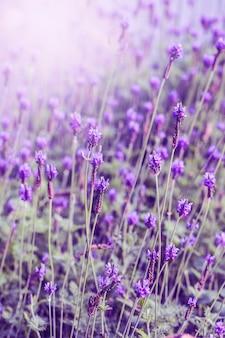 프로방스, 홋카이도에서 보라색 라벤더 밭 위로 석양