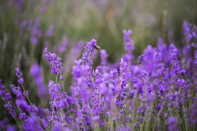 北海道プロヴァンスの紫のラベンダー畑に沈む夕日