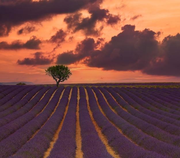 프로방스 프랑스의 보라색 꽃이 만발한 라벤더 밭 위로 일몰