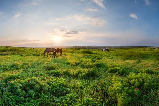 咲く野生の牡丹の花と馬と春の牧草地に沈む夕日