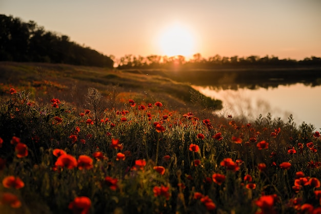 Sunset on a poppy field on the lake shore.