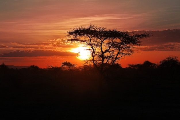 The sunset on savanna, africa. the sun in the branches of an acacia.