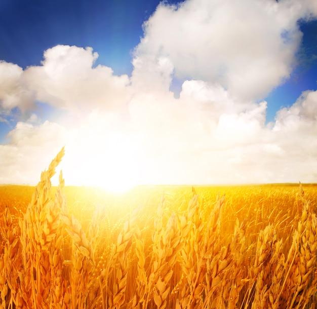 Sunset in a wheat summer field