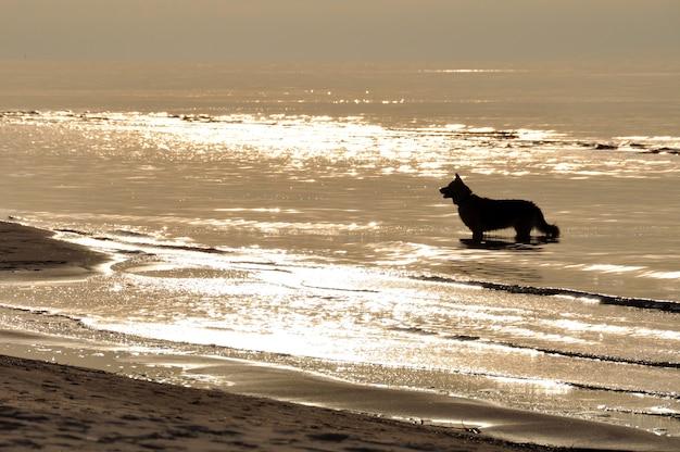 サウルクラスチ、ラトビア、バルト海のビーチで犬のシルエットと夕日