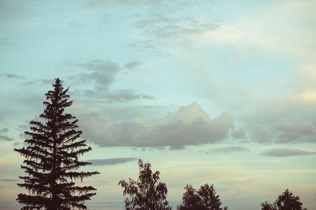 背の高いトウヒと白樺の木と劇的な空と夕日。暖かい夏の夜