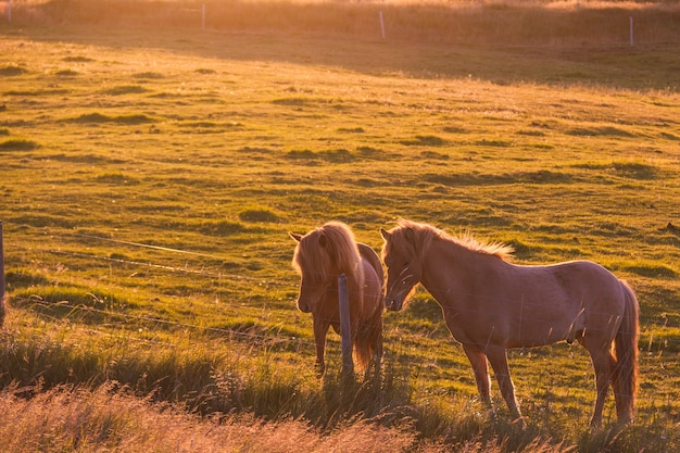 Sunset with wild horses in a meadow in iceland and a river and sea