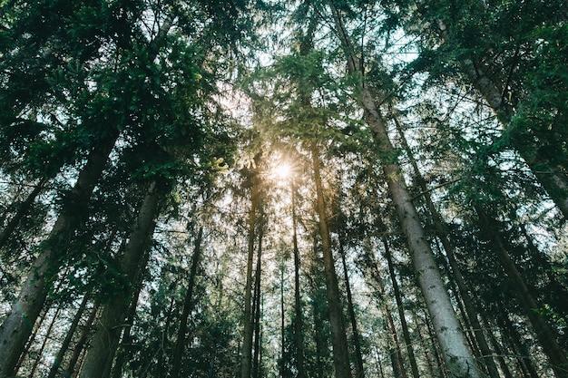 Солнечные лесные деревья