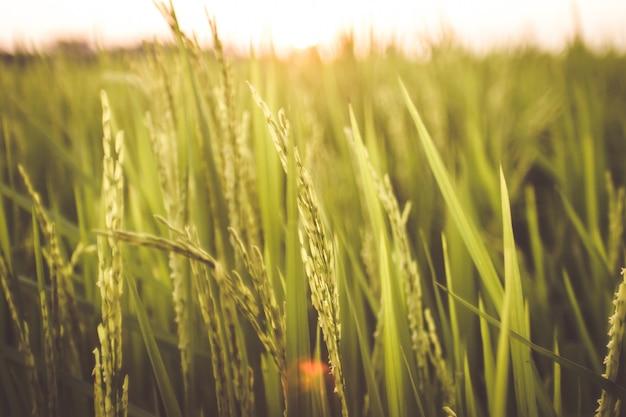 Sunshine through rice field harvest in summer