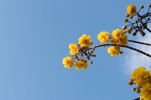 Супанника или тополь, цветущий на ветвях желтым на фоне голубого неба.