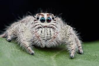 Super macro female Hyllus diardi or Jumping spider on green leaf