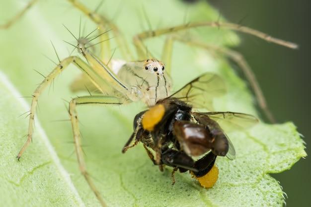 Super macro lynx spider with prey on green leaf