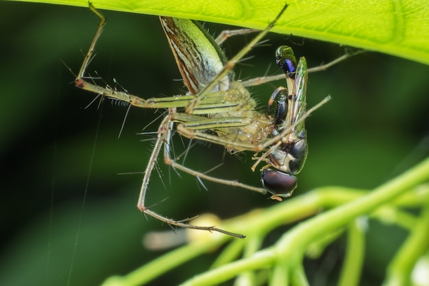 Super macro male striped lynx spider catching fly