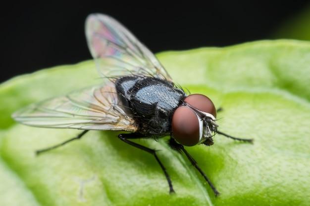Super macro musca domestica or housefly on green leaf
