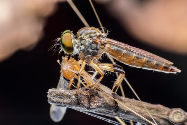 Super macro robber fly with prey on stem