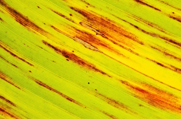 The surface of the banana leaves from fresh to dry.banana leaves that are about to dry.