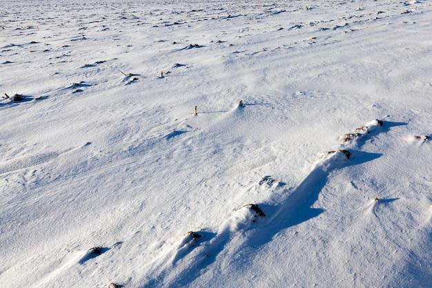 농업 분야에서 눈의 표면. 사진은 겨울철에 근접 촬영되었습니다. 작은 피사계 심도. 수확 후 눈에 보이는 절단 옥수수 줄기