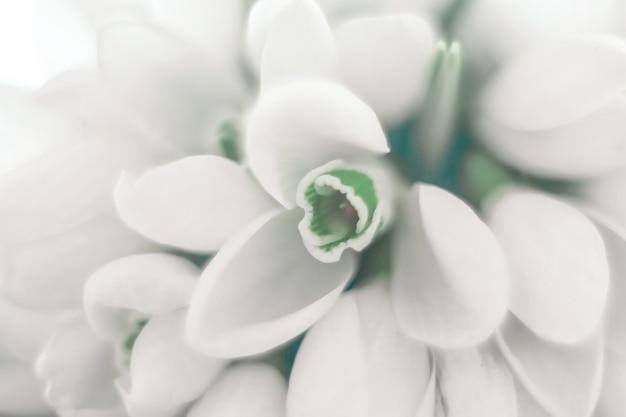 흰색 snowdrops galanthus nivalis의 표면 매크로 촬영을 닫습니다.