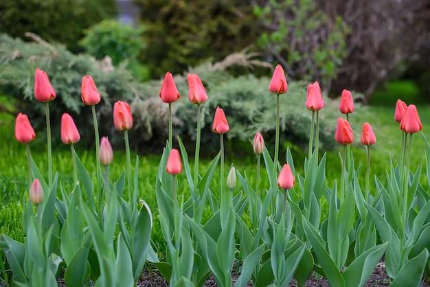 Поверхность с красными тюльпанами в зеленом городском парке