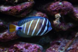 Surgeon fish  tropic