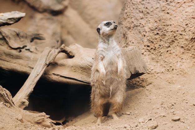 로로 공원, 푸에르토 데 라 크루즈, 산타 크루즈 데 테 네리 페, 카나리아 제도, 스페인의 뒷다리에 서있는 suricata.