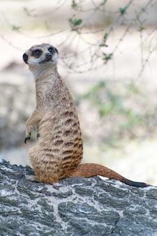 Сурикат сурикат или suricata suricatta. небольшой карнавор, принадлежащий к семейству мангустов - herpestidae. африканское родное милое животное.