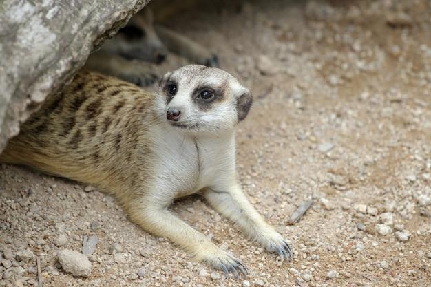 Suricata suricatta or meerkat in cave