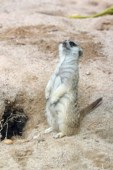 The suricata suricatta or meerkat stand up in front of hole
